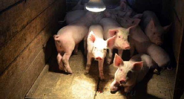 Свиньи не должны жить в постоянной темноте – необходимо предусмотреть достаточное освещение