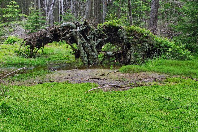 Лесное болото, заросшее мхом-сфагнумом