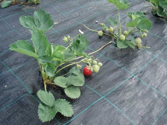 И с сорняками проблем нет, и плодородная почва надежно защищена от пересыхания
