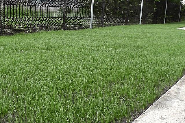 Та же лужайка, но уже через две недели после высева травосмеси