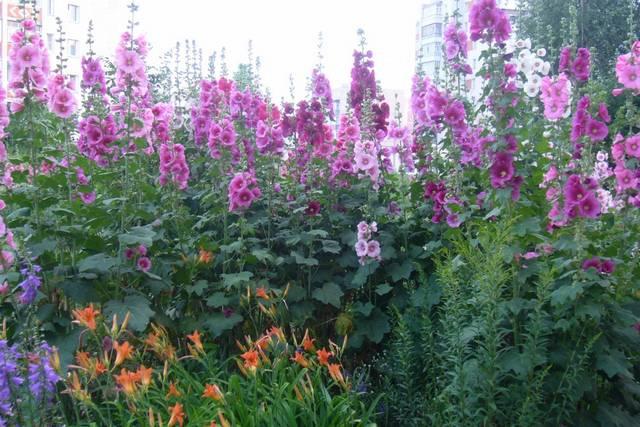 Некоторые цветочные растения, например, шток-розы (мальвы), могут сильно возвышаться над общим фоном газона. Это – довольно оригинально, главное, чтобы количество таких цветов было «в пределах разумного»